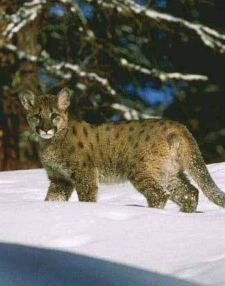 Cougar_cub.jpg